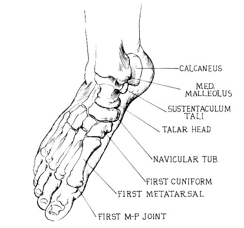 Medial (from proximal to distal) [Figure Below ]: