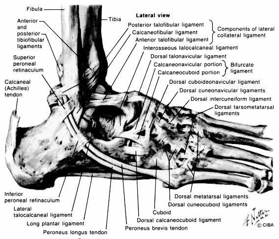 ankle bones diagram coloring pages