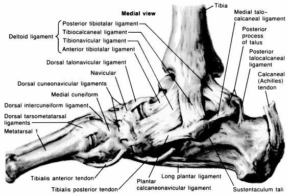 anatomy of foot. Anatomy of the Foot amp; Ankle