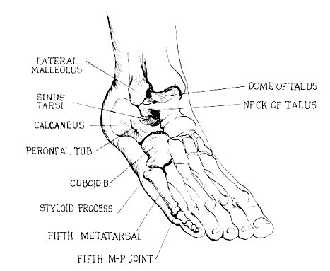 tendons of foot. for Peroneus Longus tendon